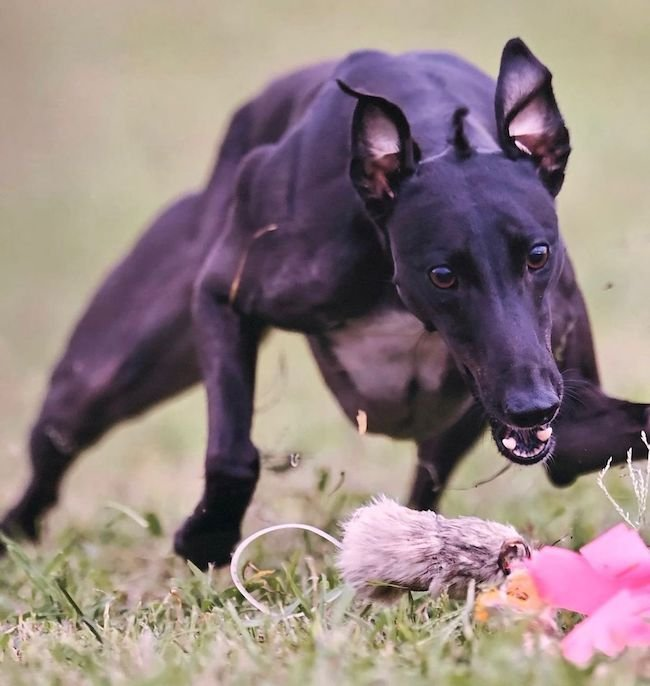 آموزش شرط بندی سگ دوانی + ترفند و قوانین لازم به همراه معرفی سایت معتبر